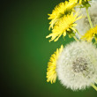 White dandelions among yellow dandelions — Stockfoto