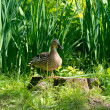 Wild duck in a grass — Stock Photo