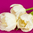 White tulips on pink background — Stock Photo