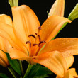 Stock Photo: Orange Lily