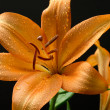Orange Lily — Stock Photo