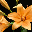 Orange Lily — Stock Photo #27585637