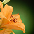 Orange Lily — Stock Photo #27586427