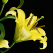 Yellow lily — Stock Photo #27586791