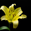 Yellow lily — Stock Photo #27587055