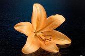 Lírio laranja — Foto Stock