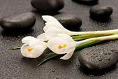 спа камни и белый крокус — Стоковое фото