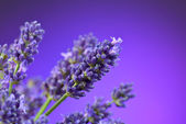 Close up of lavender — Stock Photo