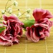 Stock Photo: Beautiful carnation
