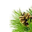 Pine cone on fir tree branch — 图库照片