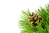Pine cone on fir tree branch — Stock Photo