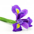Wet irises against a white background — Stock Photo
