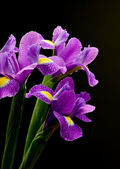 Wet irises against a black background — Stock Photo