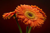 Wet gerbera on black background — Stock Photo