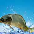 Fish isolated on blue — Stock Photo