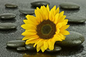 Sunflower and spa stones — Stock Photo
