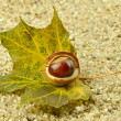 Brown acorn on green leaf — Stock Photo