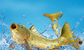Carp in the water — Stock Photo