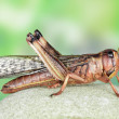 Stock Photo: Locust