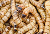 Karanlık böceği — Stok fotoğraf