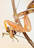 Praying mantis eater cricket — Stok fotoğraf