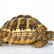 Greek tortoise — Stock Photo #39945761