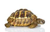 Greek tortoise — Stock Photo