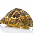 Greek tortoise — Stock Photo #39968929