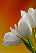 Beautiful white tulips — Stock Photo