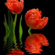 Two red tulip with reflection — Stock Photo