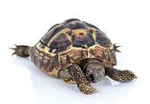 Dark brown turtle — Stock fotografie