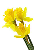 Narcissus flowers — Foto de Stock