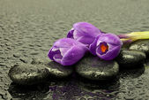 Crocus flowers on black spa stones — Stock Photo
