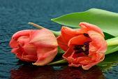 Tulipani rossi — Foto Stock
