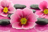 Primroses with stones to spa — Stock Photo