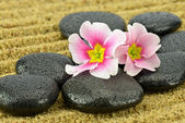 Primrose flowers on black spa stones — Stock Photo