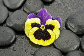 Pansy with stones for spa — Stock Photo