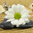 Daisy with basalt stone — Stock Photo #44266547