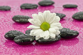 Daisy  with stones — Stock Photo
