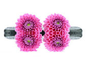 Two dahlias with basalt stones — Stock Photo