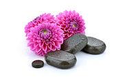 Dahlias with basalt stones — Stock Photo