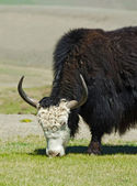 The yak — Stock Photo