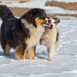 The Australian shepherds — Stock Photo #25657981