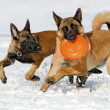 The Belgian shepherds plays with a disk frisbee - Stock Photo