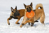 The Belgian shepherds plays with a disk frisbee — Stock Photo