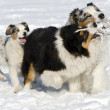 The Australian shepherds — Stock Photo #25690459