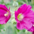 Stock Photo: Mallow