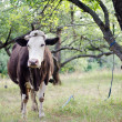 Cow in the apple orchard — Stock Photo