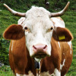 Stained brown and white cow grazing in the meadows in the mountains — Stock Photo #49587691