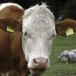 Stained brown and white cow grazing in the meadows in the mountains — Stock Photo #49959765